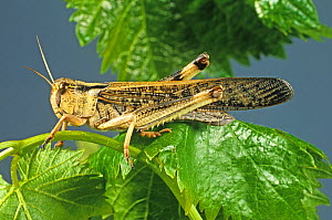 An adult winged migratory locust (Locusta migratoria) agricultural crop pest on a leaf  -  Nigel Cattlin