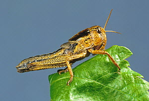 A nymph or hopper of migratory locust (Locusta migratoria) agricultural crop pest on a leaf  -  Nigel Cattlin