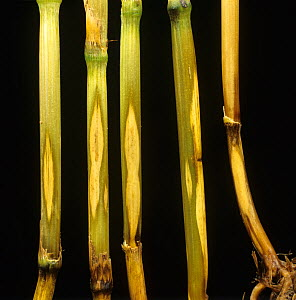 Sharp eyespot (Ceratobasidium cereale) eye-shaped pale lesions of a fungal disease on wheat stem base  -  Nigel Cattlin