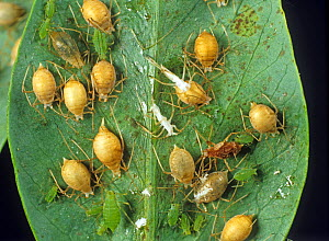 Pea aphid (Acyrthosiphon pisum) a severe aphid infestation on a pea crop but naturally heavily parasitized by Aphidius wasps  -  Nigel Cattlin