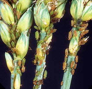 Grain aphid (Sitobion avenae) severe infestion of pest aphids on green unripe ears of winter wheat, England, UK. June  -  Nigel Cattlin