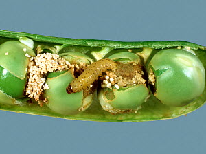 Pea moth (Cydia nigricana) caterpillar with frass and damaged peas in a mature green pea pod  -  Nigel Cattlin