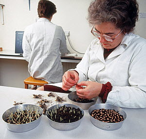 Woman testing cereal seed for viability, germination level and seedling vigour in a quality control laboratory at a agricultural grain merchant  -  Nigel Cattlin