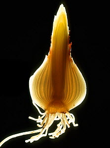 Longitudinal section through the bulb of a daffodil (Narcissus sp.) showing roots, tunic , developing leaves and roots, backlit to show structure  -  Nigel Cattlin