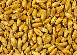 Triticale seed variety Lasko x Triticosecale, a cereal cross beween wheat (Triticum) and Rye (Secale)  -  Nigel Cattlin