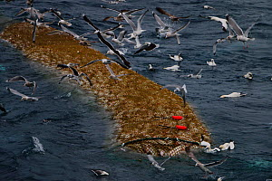 Ocean Harvest fishing trawler - codend and bag section of a trawl net filled with Cod, surrounded by gulls. North Sea.  -  Philip  Stephen