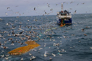 Ocean Harvest fishing trawler dragging net full of cod fish, surrounded by gulls. North Sea.  -  Philip  Stephen