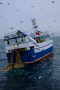 Ocean Harvest fishing trawler surrounded by gulls. North Sea.  -  Philip  Stephen