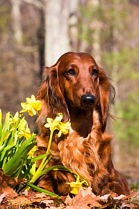 Long-haired Dachshund beside spring garden daffodils, Putnam, Connecticut, USA,  -  Lynn M. Stone