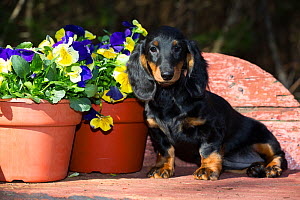 Long-haired dachshund puppy sitting by garden Pansies in pot, Connecticut, USA.  -  Lynn M. Stone