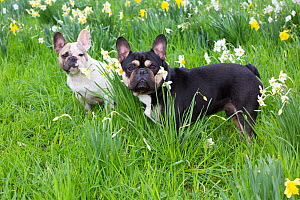 French bulldogs standing amongst garden daffodils, Connecticut, USA.  -  Lynn M. Stone