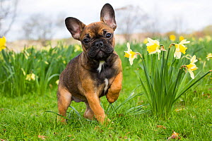 French Bulldog puppy standing amongst garden daffodils, Waterford, Connecticut, USA.  -  Lynn M. Stone