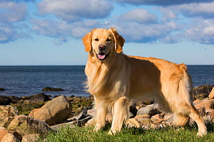 Golden retriever dog male standing on seashore with sea in background, Long Island Sound, Connecticut, USA.  -  Lynn M. Stone