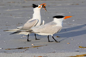 Royal Tern (Thalasseus maxima) in breeding plumage, offering fish to potential mate, Tierra Verde, Florida, USA, April.  -  Lynn M. Stone