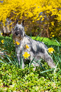 Standard Schnauzer dog among yellow spring flowers, Connectiut, USA.  -  Lynn M. Stone