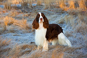 English Springer Spaniel standing in winter salt marsh, early morning, Connecticut, USA.  -  Lynn M. Stone