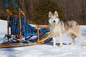 Siberian Husky in snow by dog sled, Massachusetts, USA.  -  Lynn M. Stone