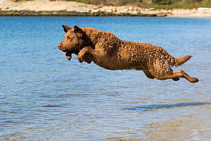 Chesapeake Bay Retriever male jumping into water, water entry, Connecticut, USA.  -  Lynn M. Stone