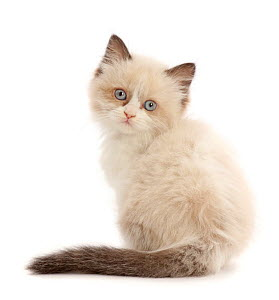 Persian-x-Ragdoll kitten, age 7 weeks, back view, looking over shoulder.  -  Mark Taylor