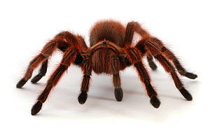 Chilean Rose Tarantula (Grammostola rosea). South America.  -  Mark Taylor