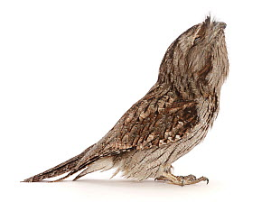 Tawny frogmouth (Podargus Strigoides) looking up showing chin. Occurs in Australia.  -  Mark Taylor