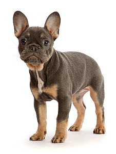 Blue-and-tan French Bulldog puppy standing.  -  Mark Taylor