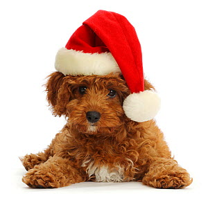 Red Cavapoo puppy wearing a Father Christmas hat.  -  Mark Taylor