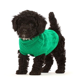 Black Poodle-cross puppy wearing green knitted jersey.  -  Mark Taylor