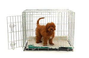 Red Cavapoo puppy in a metal transporting crate.  -  Mark Taylor