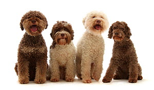 Four Lagotto Romagnolos sitting in a row.  -  Mark Taylor