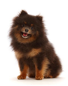 Black-and-tan Pomeranian sitting.  -  Mark Taylor