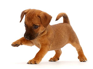 Brown Jack Russell x Border Terrier puppy, standing with paw raised.  -  Mark Taylor