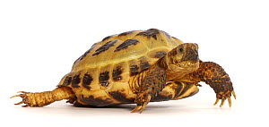 Horsefield or Russian tortoise (Testudo horsfieldii) captive, occurs in Central Asia.  -  Mark Taylor