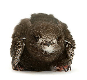 Fledgling Swift (Apus apus) portrait. Captive.  -  Mark Taylor