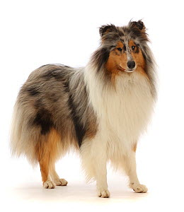 Rough Collie standing.  -  Mark Taylor