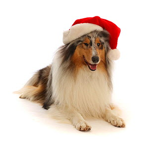 Rough Collie wearing a Father Christmas hat.  -  Mark Taylor