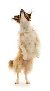 Sable mixed breed dog, jumping up to catch a treat.  -  Mark Taylor