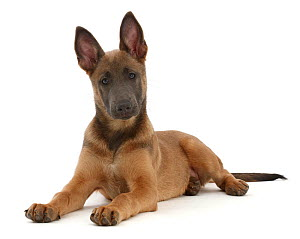 Fawn and blue Belgian Shepherd Dog (Malinois) pup, age 12 weeks, lying with head up.  -  Mark Taylor