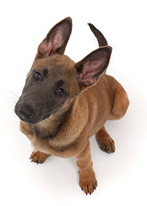 Fawn and blue Belgian Shepherd Dog (Malinois) pup, age 12 weeks, looking up.  -  Mark Taylor