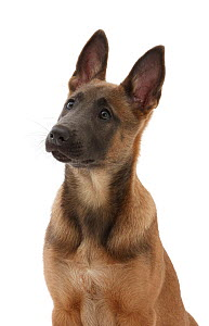 Fawn and blue Belgian Shepherd Dog (Malinois) pup, age 12 weeks.  -  Mark Taylor