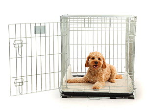 Cockapoo dog, Monty, age 10 months, lying in a carry crate.  -  Mark Taylor