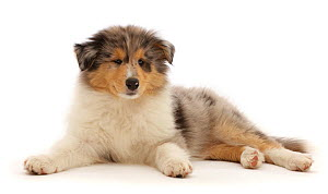 Rough Collie puppy, lying with head up, lying down.  -  Mark Taylor