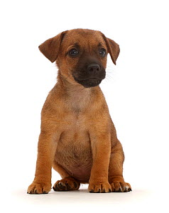 Brown Jack Russell x Border Terrier puppy, sitting.  -  Mark Taylor
