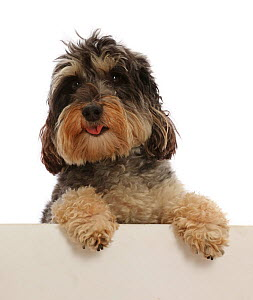 Tricolour Daxie-doodle dog, Dougal, paws over.  -  Mark Taylor