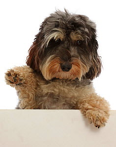 Tricolour Daxie-doodle dog, Dougal, with one paw in the air 'waving'  -  Mark Taylor