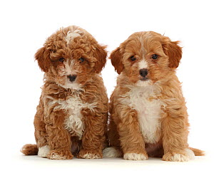 Two red Cavapoo dog puppies, age 8 weeks, sitting.  -  Mark Taylor