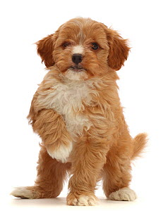 Red Cavapoo puppy, age 8 weeks, standing with raised paw.  -  Mark Taylor
