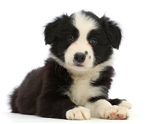 Black-and-white Border Collie puppy, lying down.  -  Mark Taylor