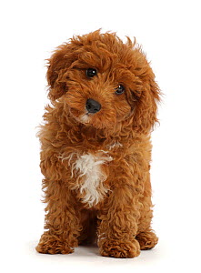 RF - Red Cavapoo puppy sitting.  (This image may be licensed either as rights managed or royalty free.)  -  Mark Taylor