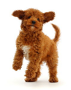 RF - Playful Red Cavapoo puppy.  (This image may be licensed either as rights managed or royalty free.)  -  Mark Taylor